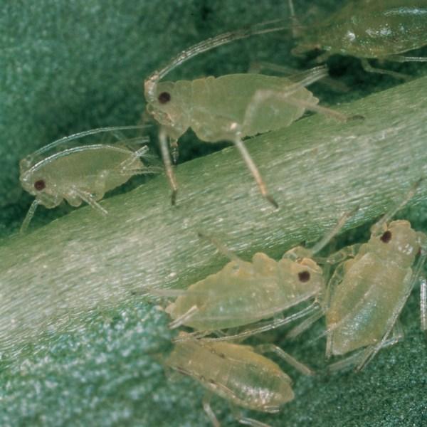 http://bulagro.bg/resources/Зелена-прасковена-листна-въшка1.jpg