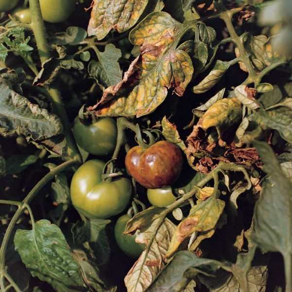 http://bulagro.bg/resources/Картофена-мана-по-доматите2.jpg