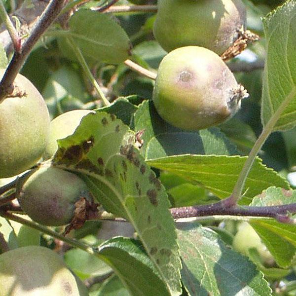 http://bulagro.bg/resources/Струпясване-по-ябълката,-крушата3.jpg