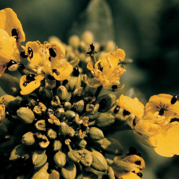 http://bulagro.bg/resources/рапичен-цветояд3.jpg