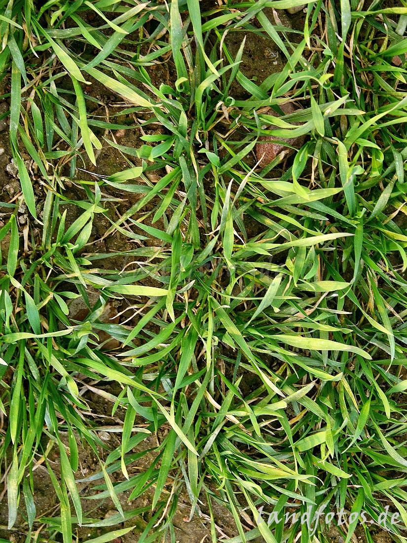 сяра пшеница