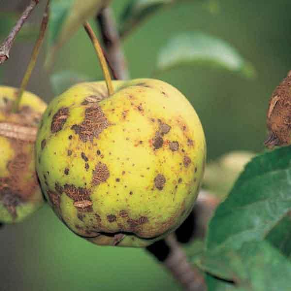 https://bulagro.bg/resources/Струпясване-по-ябълката,-крушата2.jpg