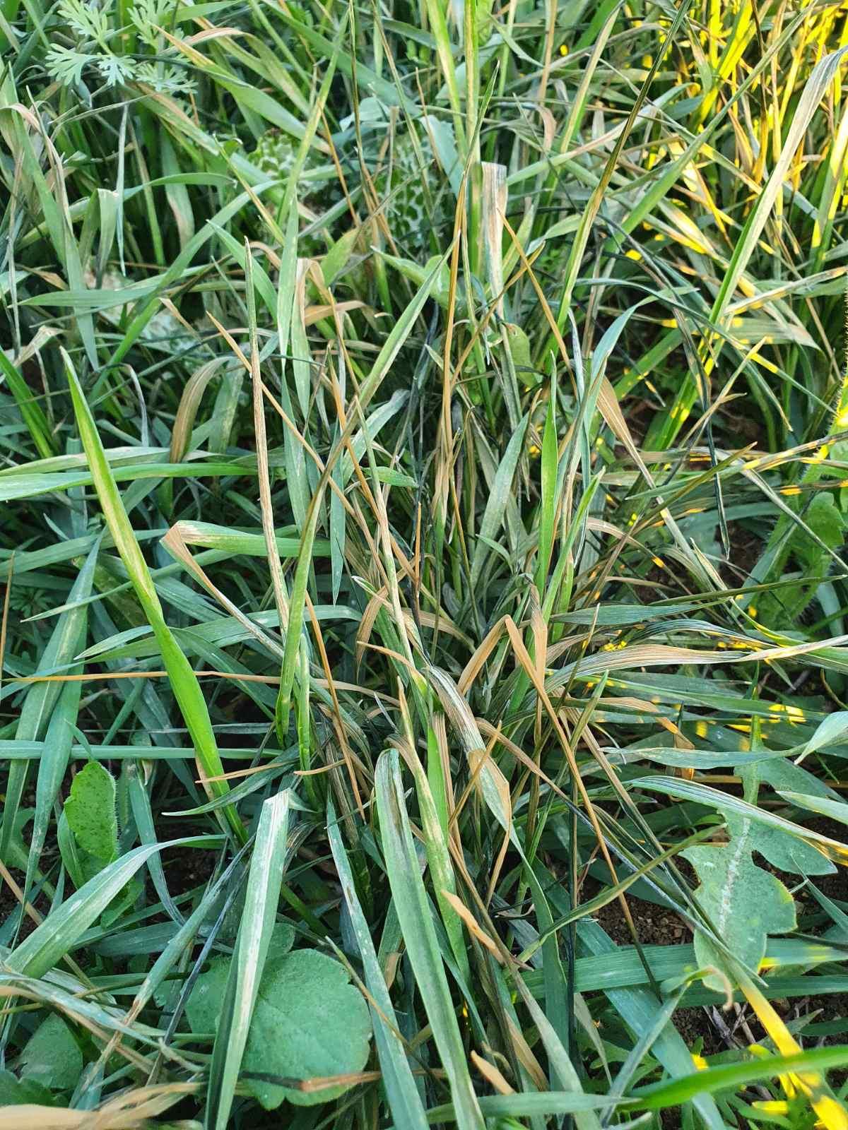 пшеница слана