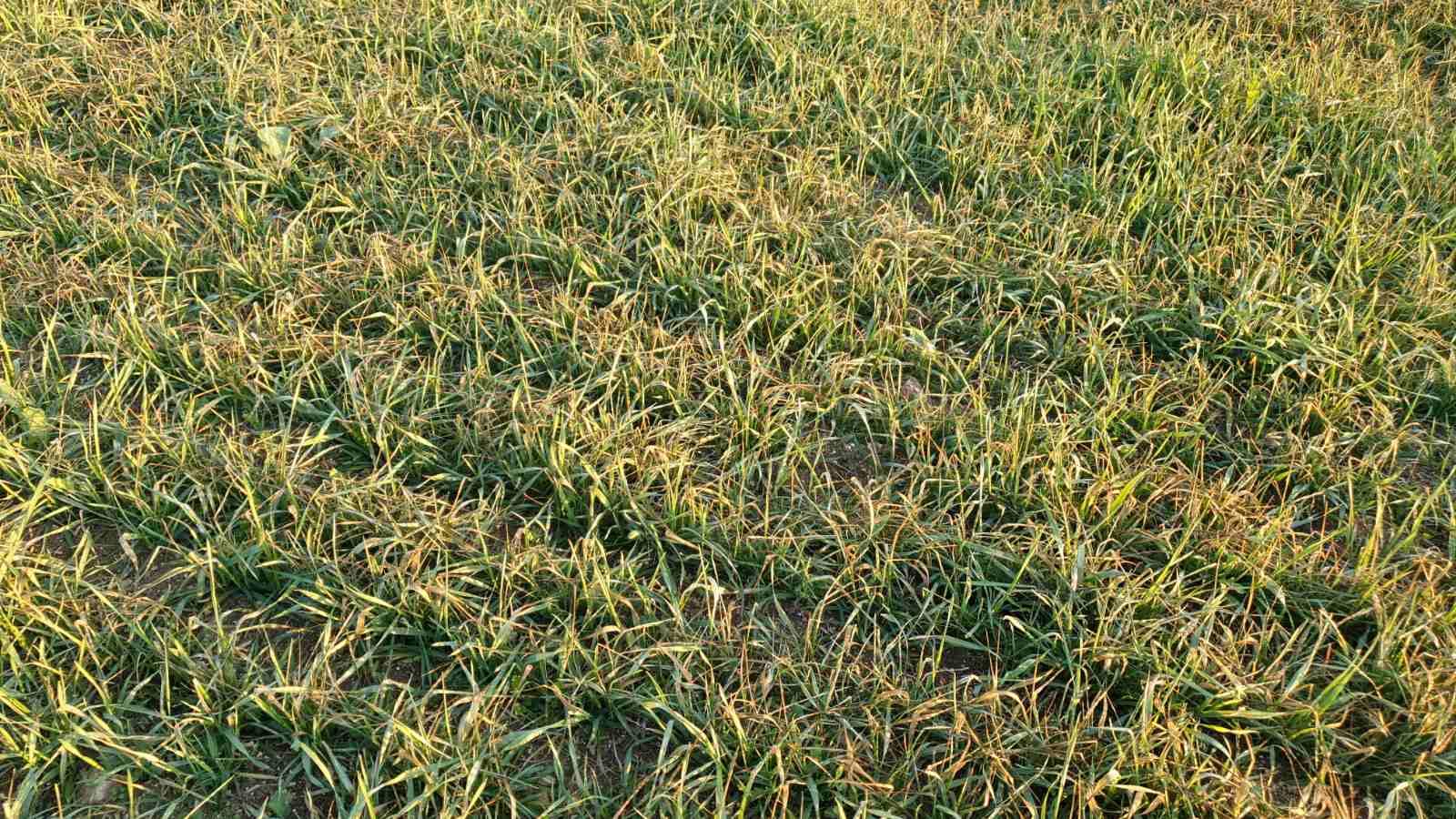 жълтеене на посеви пшеница