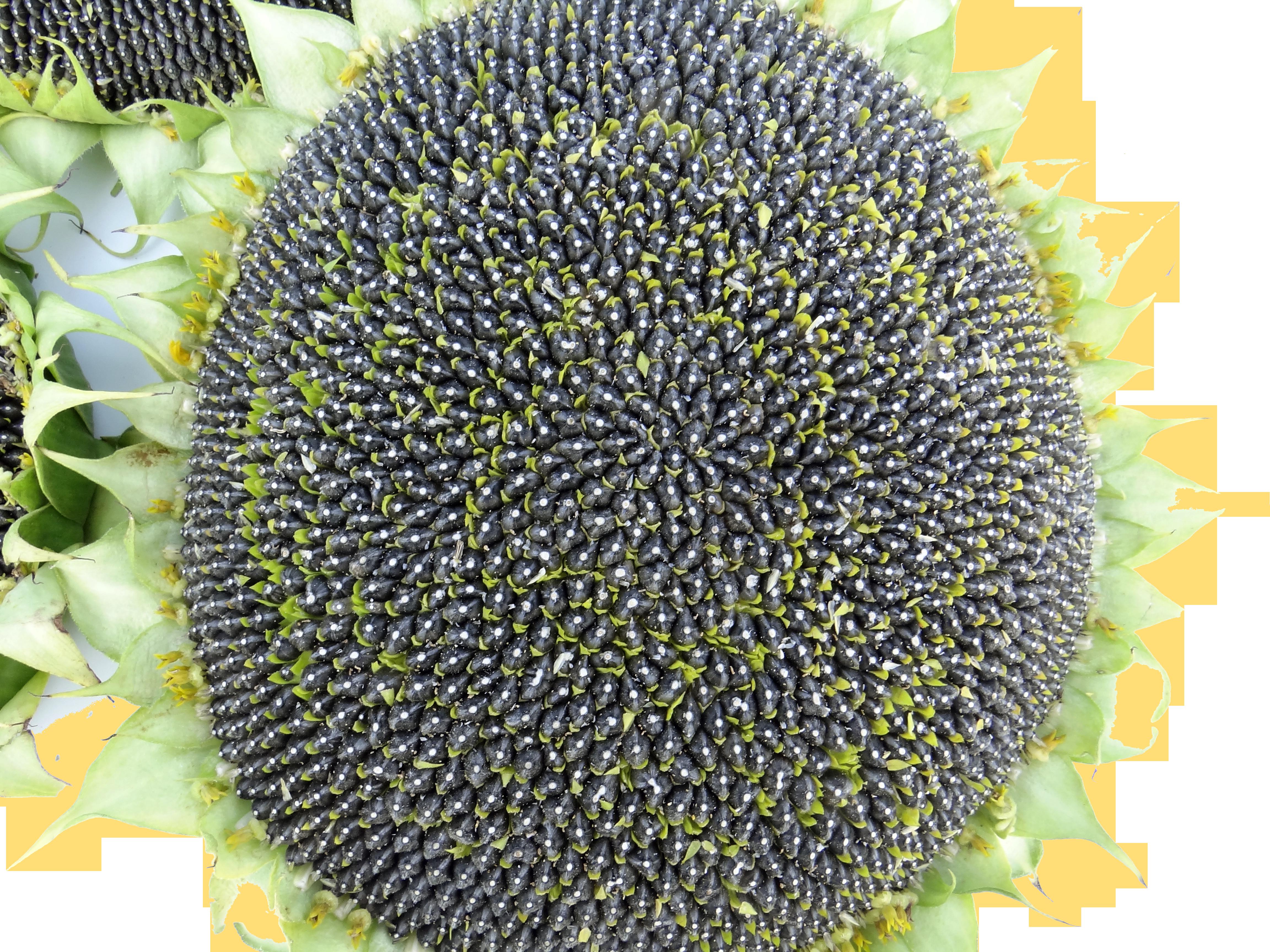слънчоглед - третиран с кодафол максимус