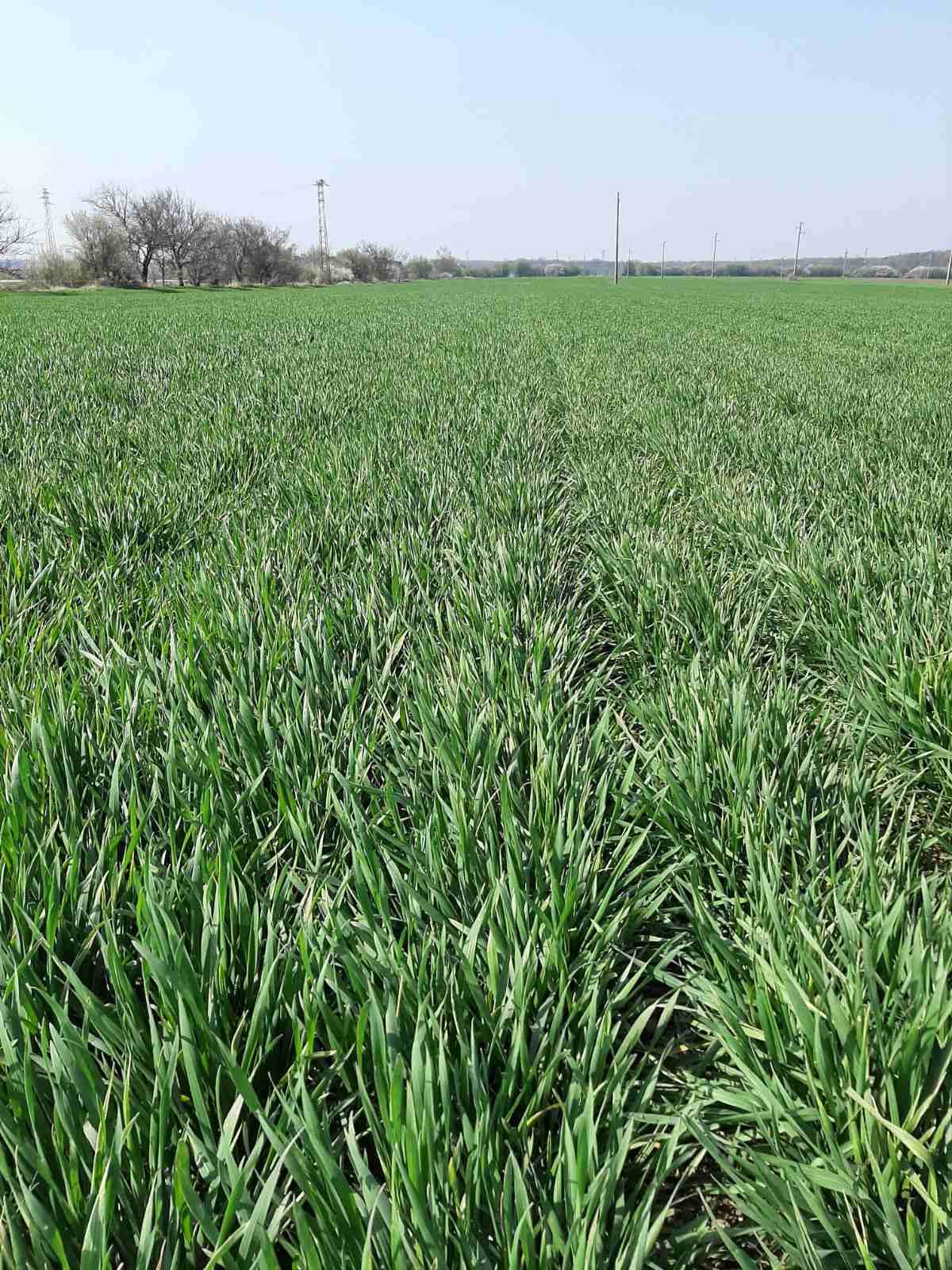 пшеница мегафол