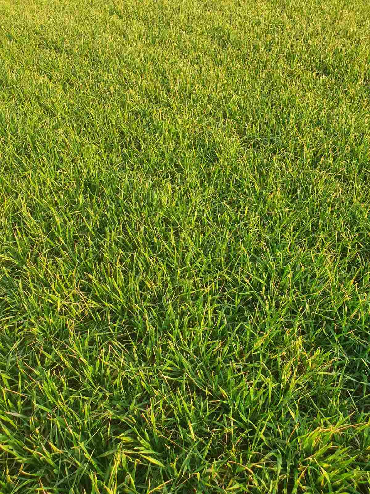 пшеница Стоян мегафол